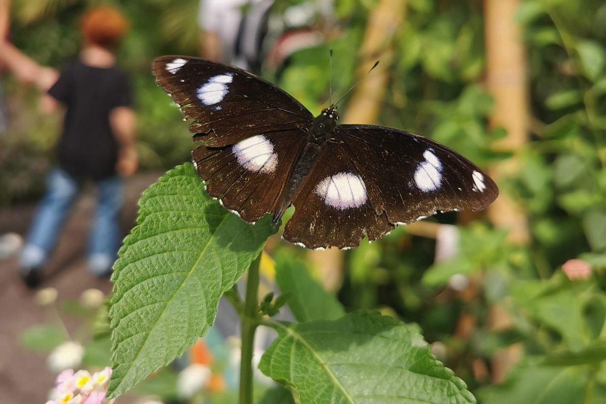 A butterfly with white spots on wings sits on green leaves in green area. In the background a family are walking into the distance. They appear blurry.