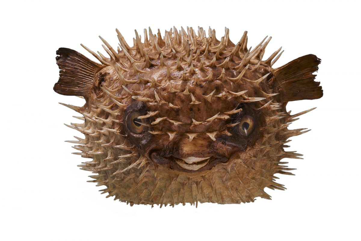 Circular spiky fish with small fins on a white background.