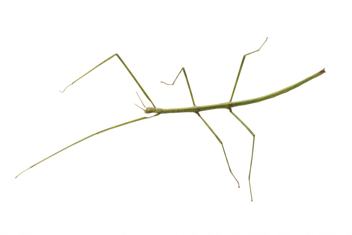 Long thin insect with six long legs on a white background.