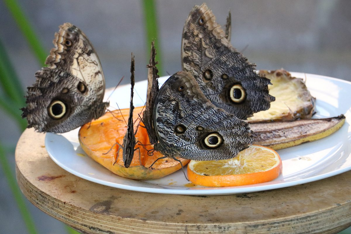 Five butterflies drinking from slices of fruit on a white plate.