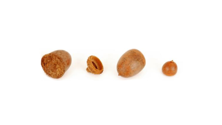 Four small acorns in a line on a white background.