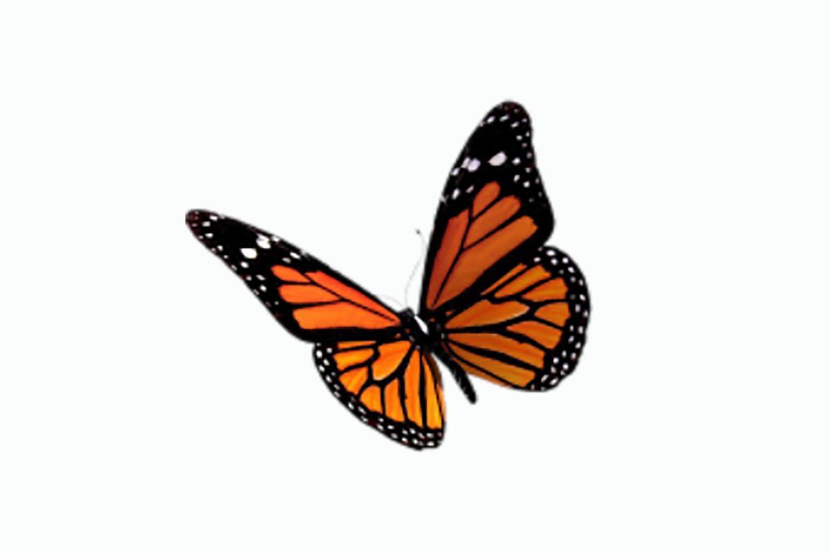 Illustration of orange monarch butterfly
