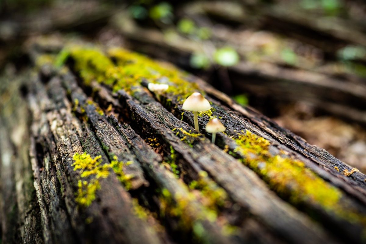 Mushrooms on dead log with lichens