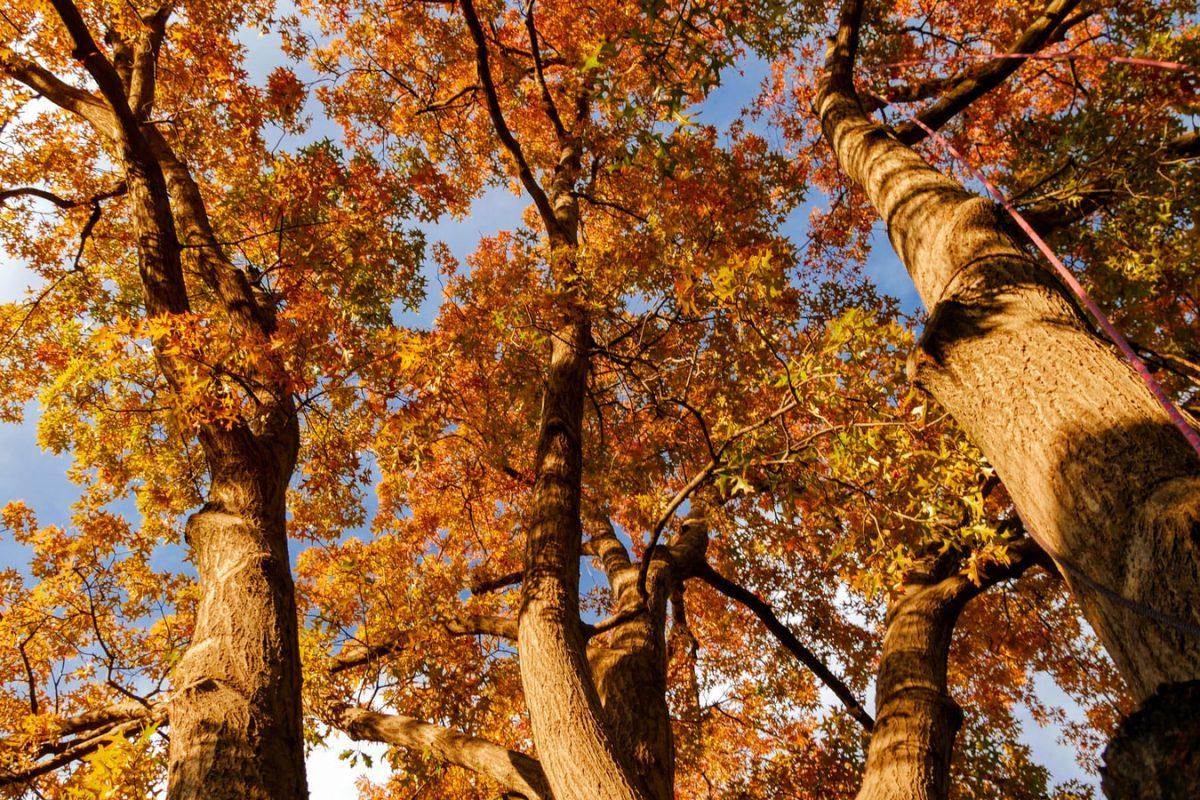 Brown oak trees