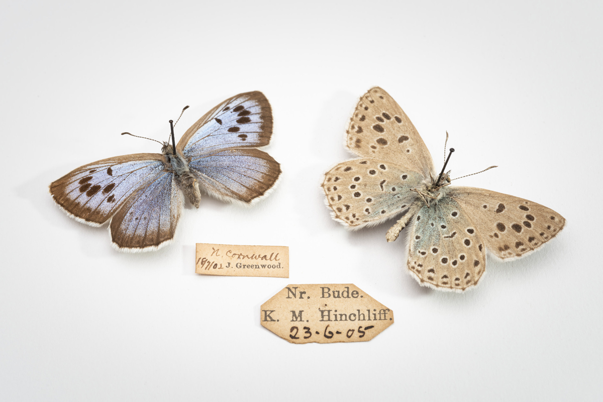 Two taxidermied butterflies