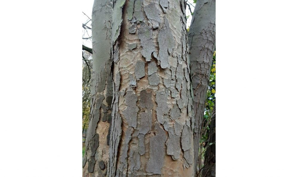 Close up of bark with scales on the surface