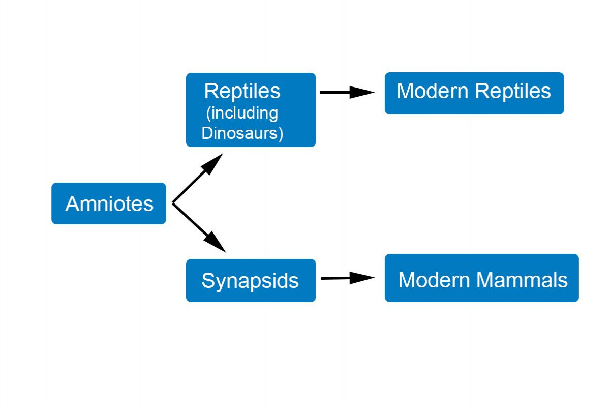 A diagram showing a branch from Amniotes of reptiles evolving, and a branch showing synapsids and mammals evolving