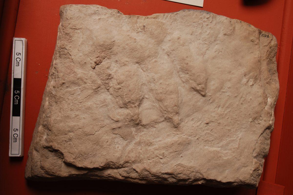 Trace fossil footprint of extinct archosaur