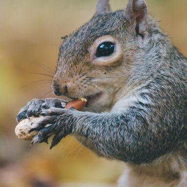 Close up of squirrel eating nut in brown area