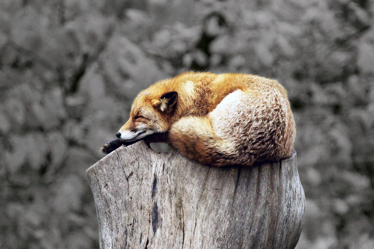 Sleeping fox curled up on tree in grey area.