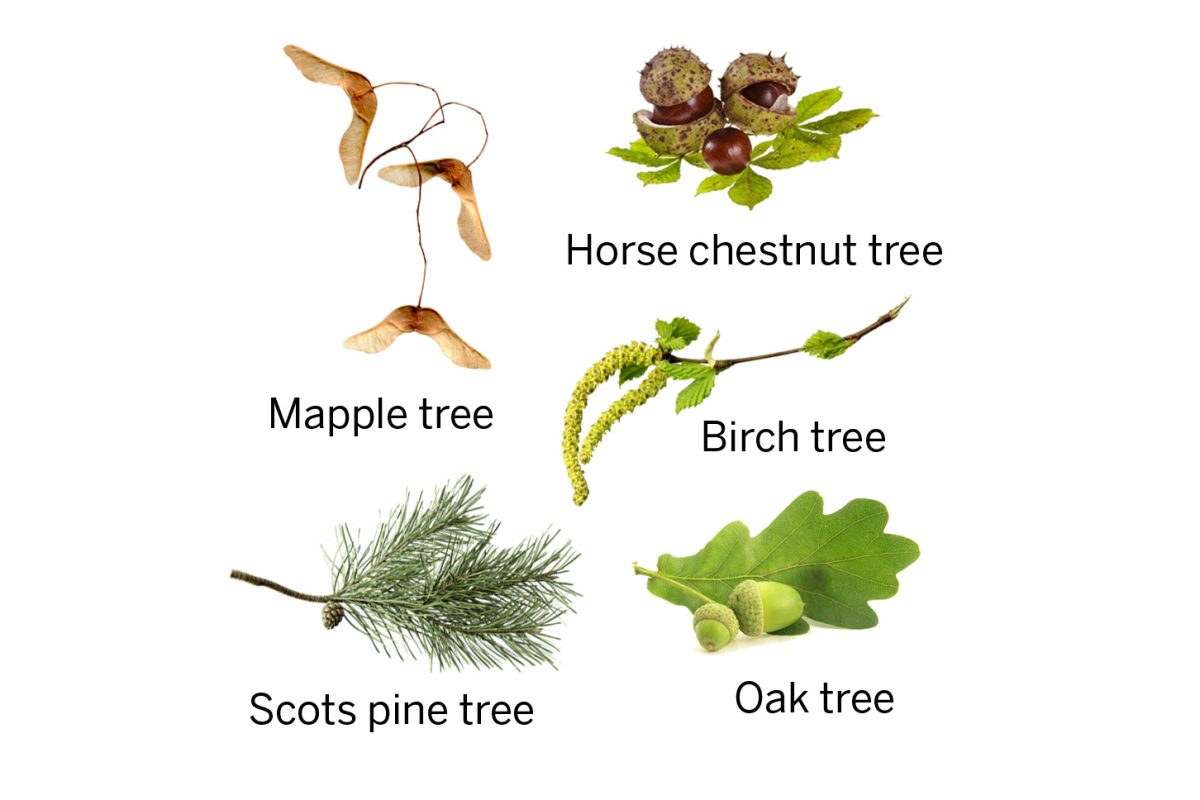 Maple tree seeds, horse chestnut tree seeds, birch tree seeds, scots pine tree seed and oak tree seed in a circle on white background.