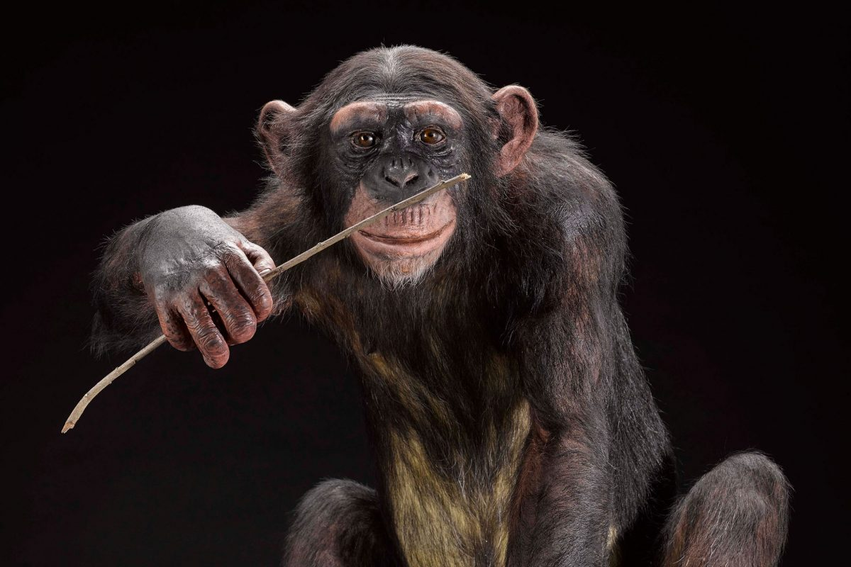 A taxidermy chimpanzee chewing with a stick