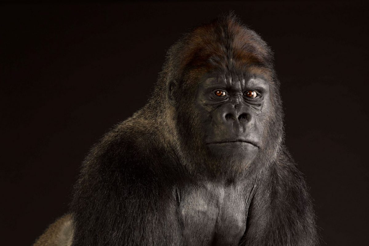A taxidermy Gorilla in front of a black background