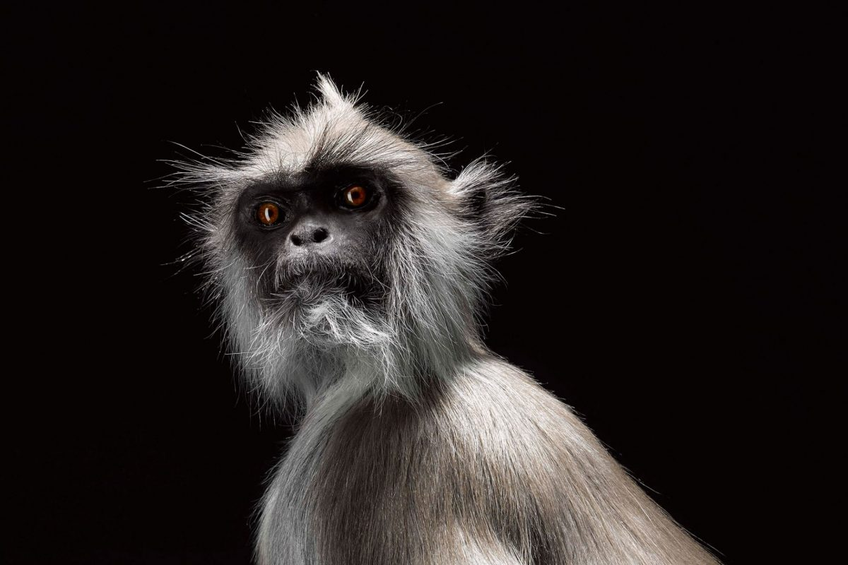 A taxidermy lemur in front of a black backdrop