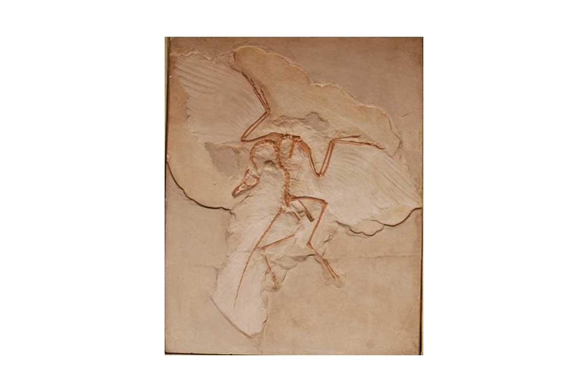 Archaeopteryx cast in the handling collection