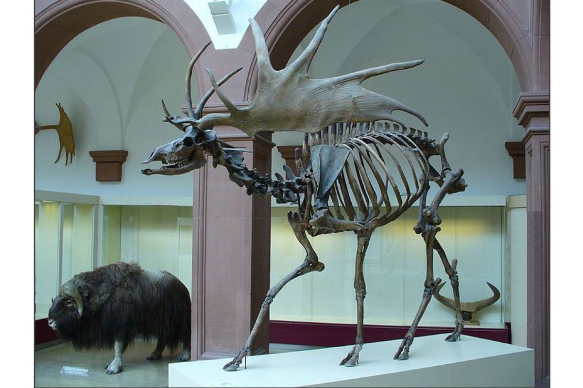 Side view of a giant elk sub fossil