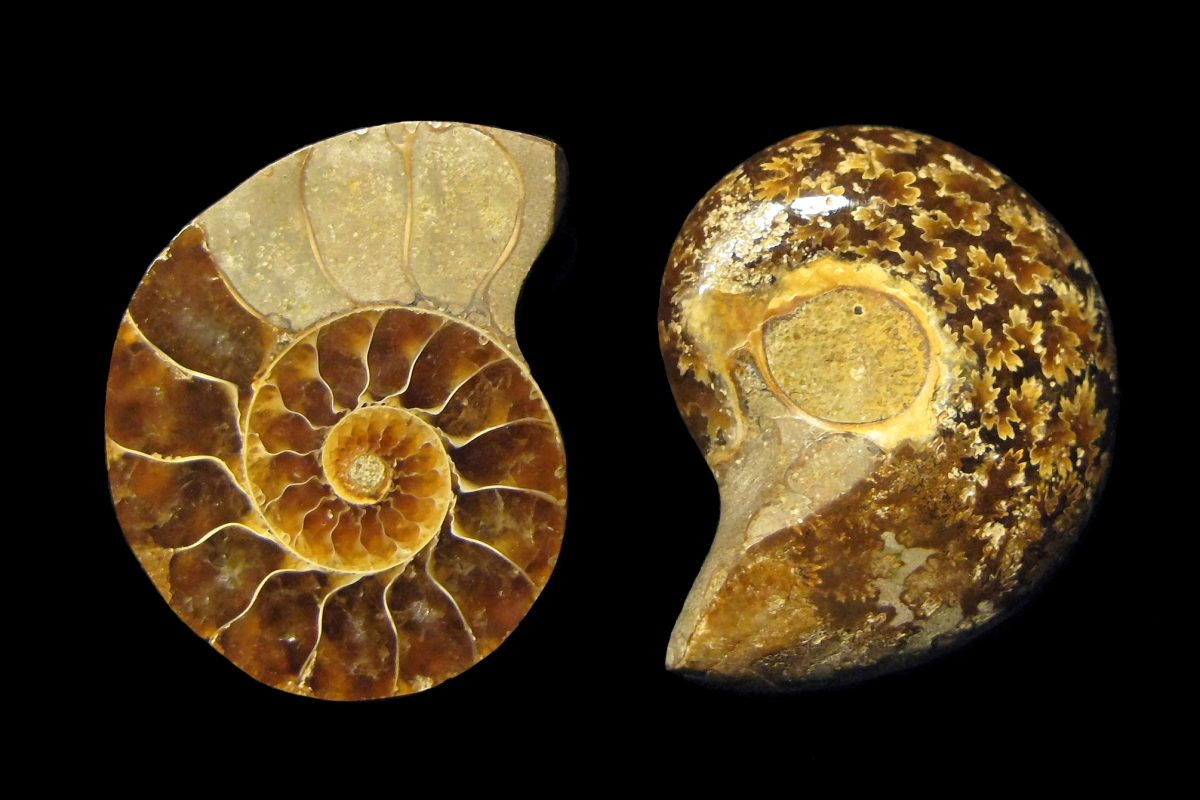 An ammonite seen inside and out
