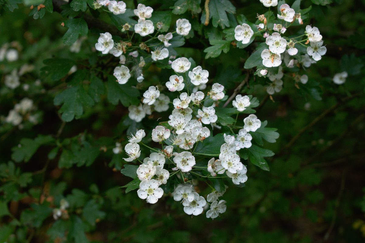 A close up of hawthorn flowers