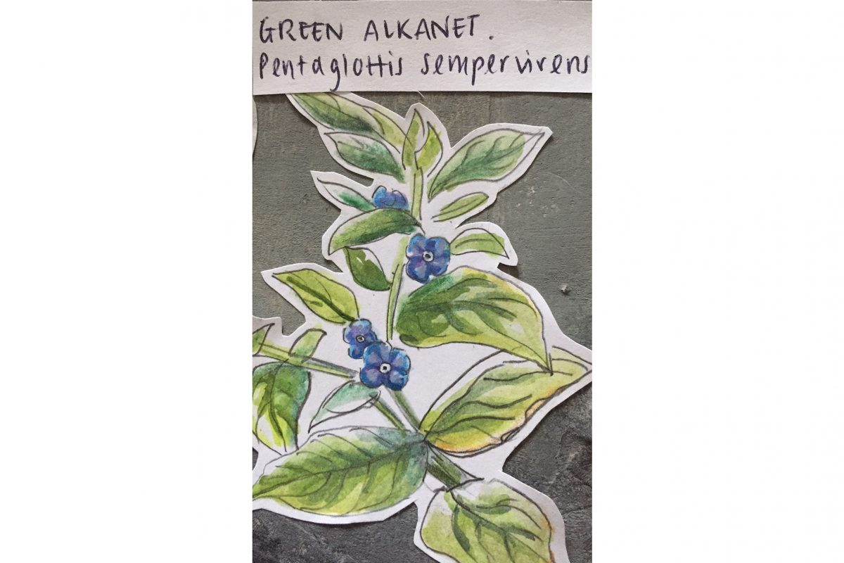 A drawing of a blue flower - green alkanet