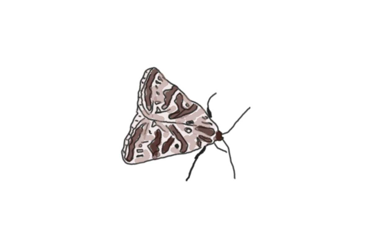 Hand drawn illustration of a brown moth