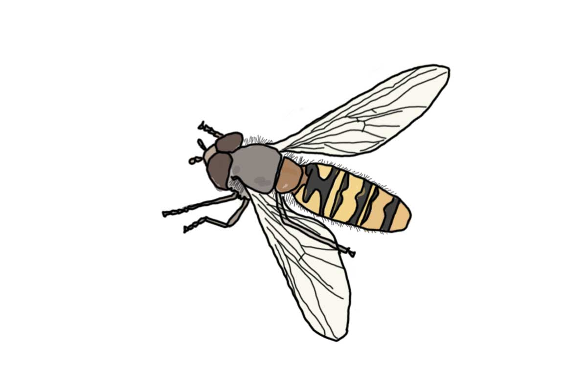 Illustration of a hoverfly