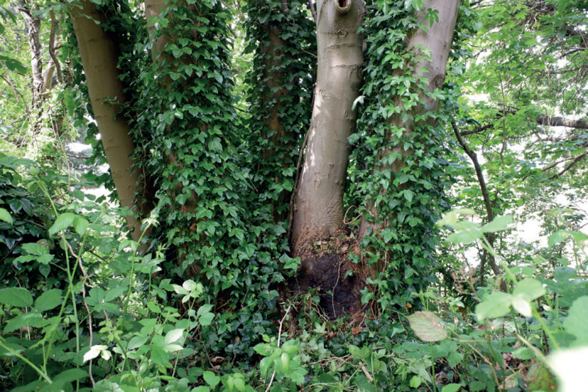 Base of an overgrown sycamore tree at the Horniman